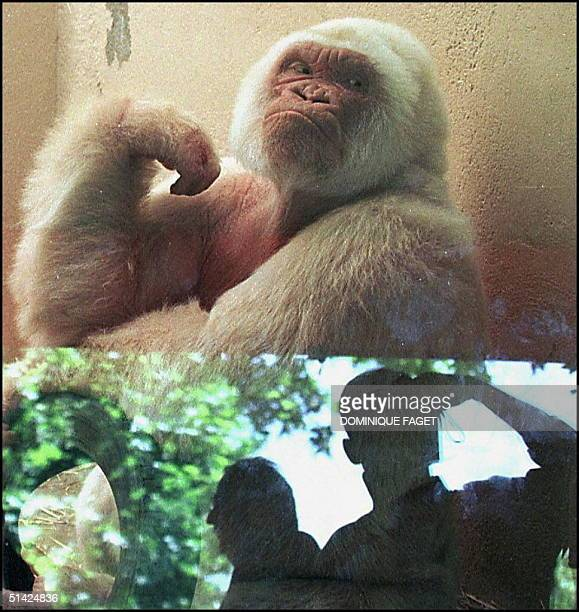 A visitor takes a snap of Copito de nieve 30 years old unique albino gorilla in zoo of Barcelona 26 may Among its numerous youngs there is no white...
