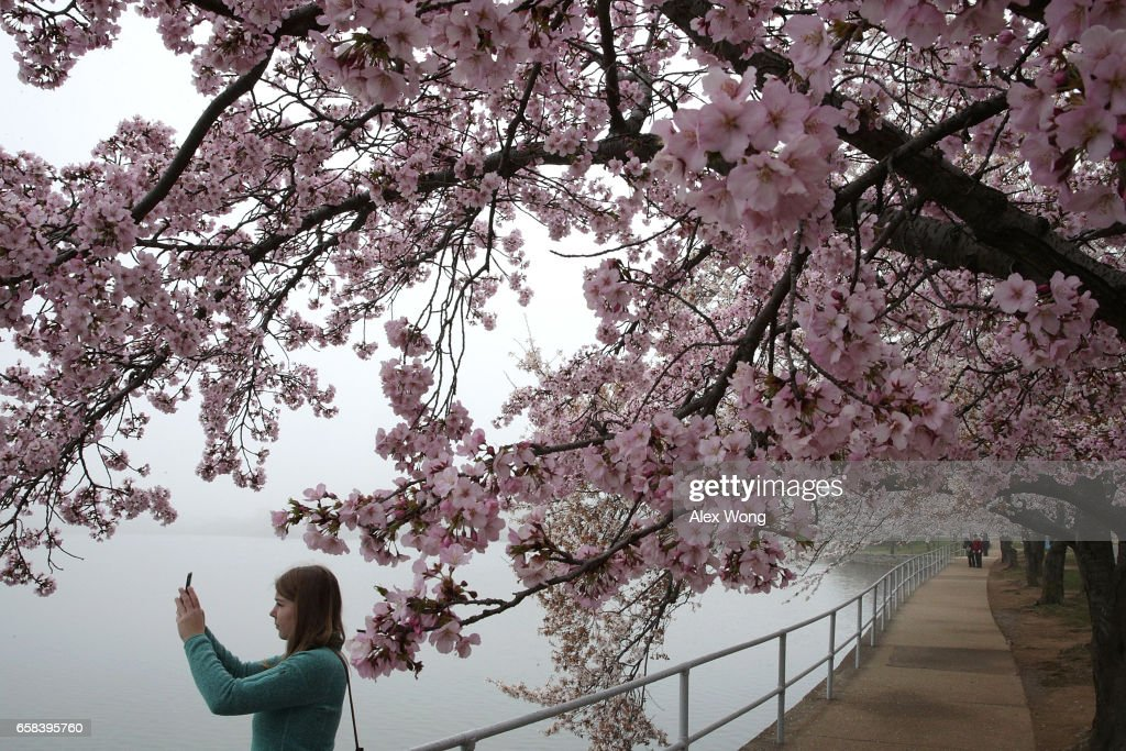 Washington DC's Famed Cherry Blossoms In Bloom : News Photo