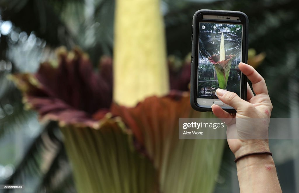 A visitor takes pictures of the Titan Arum, also known as the corpse flower, in full bloom at the U.S. Botanic Garden August 3, 2016 in Washington, DC. The plant is a native of Sumatra, Indonesia, and has the largest unbranched inflorescence in the world. It emits a stinky smell during its full bloom and last for 24-48 hours before it collapses.