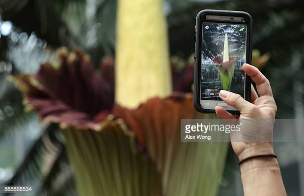 A visitor takes pictures of the Titan Arum also known as the corpse flower in full bloom at the US Botanic Garden August 3 2016 in Washington DC The...