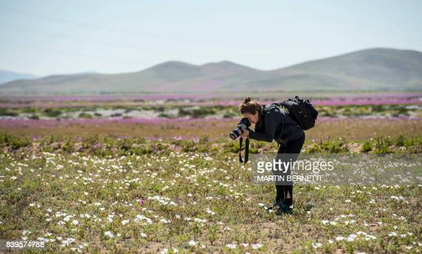 A visitor takes snapshots of the bloom on the Atacama desert at the Huasco region some 600 km north of Santiago on August 26 2017 In years of very...
