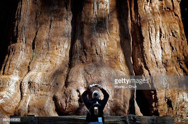 A visitor to Sequoia National Park is dwarfed by the 365 ft diameter trunk of the General Sherman Tree billed as the Largest Living Thing on Earth...