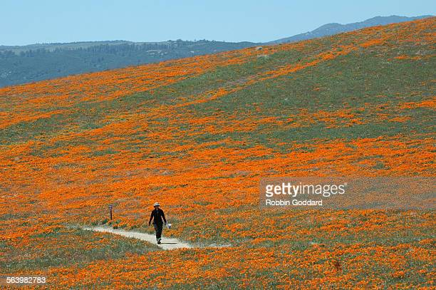 A visitor to the Antelope Valley California Poppy Reserve hike the trails on Wednesday April 16 during the height of the blooming season The reserve...