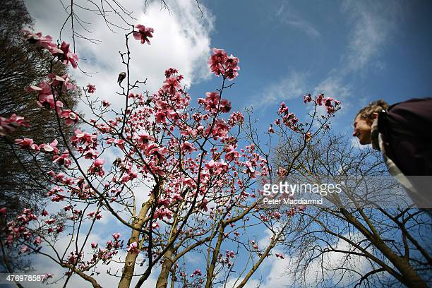 A visitor to The Royal Botanical Gardens Kew looks up at the blossom of a Magnolia tree on March 6 2014 in London England Parts of the United Kingdom...