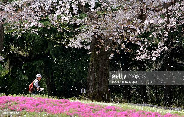 A visitor walks in a garden of cherry blossoms in full bloom in Tatebayashi about 75 kilometers North of Tokyo April 8 2016 Viewing cherry blossoms...
