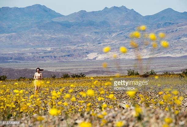 A visitor walks through a field of Desert Gold wildflowers as they carpet Death Valley California in a rare super bloom March 4 2016 An unusual...