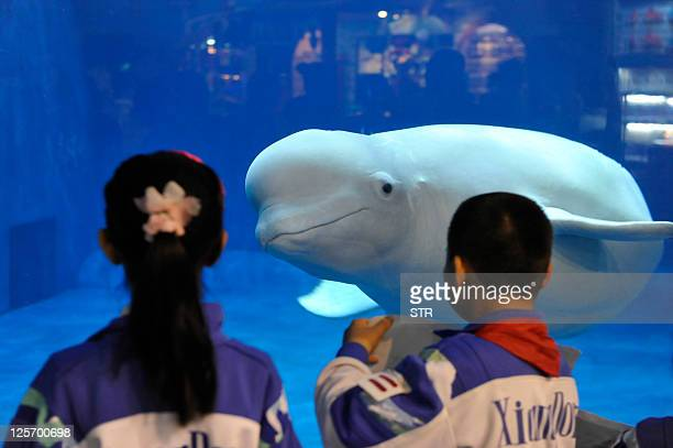 Visitors admire a beluga or white whale a latest attraction at the Beijing aquarium on September 20 2011 Beijing is expecting a surge of tourist...