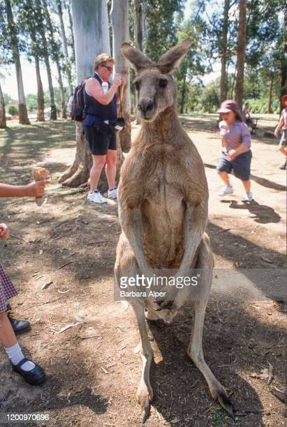 Visitors are able to interact with the kangaroos at the Lone Pine Koala Sanctuary near Brisbane Australia October 23 2001