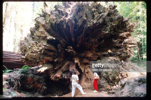 Visitors are dwarfed by a fallen redwood January 1 1995 in Humboldt Redwoods State Park CA Redwoods can live to be 2000 years old grow to over 300...