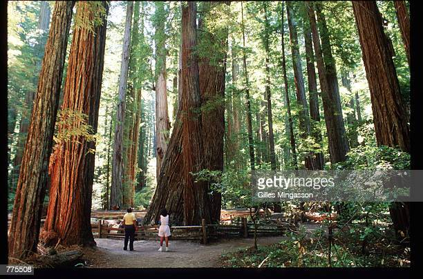 Visitors are dwarfed by giant redwoods January 1 1995 in Humboldt Redwoods State Park CA Redwoods can live to be 2000 years old grow to over 300 feet...
