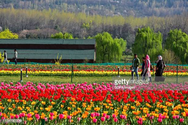 Visitors are seen walking near the tulip flowers inside the Asia's largest Tulip Garden in Srinagar. The Asia's largest tulip garden with 20 lakh...
