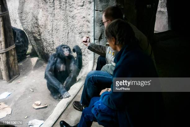 Visitors contact the Chimpanzee in Leipzig zoo Germany November 2019