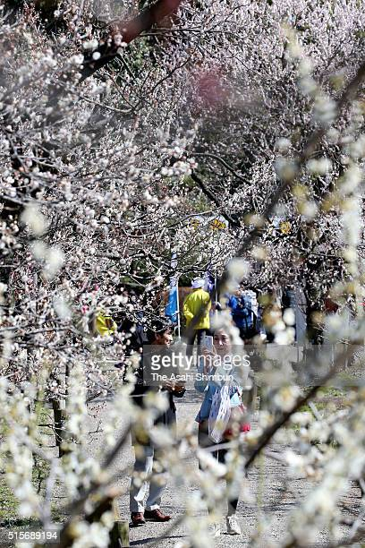Visitors enjoy bloomed plums at Kairakuen Gardens on March 15 2016 in mito Ibaraki Japan
