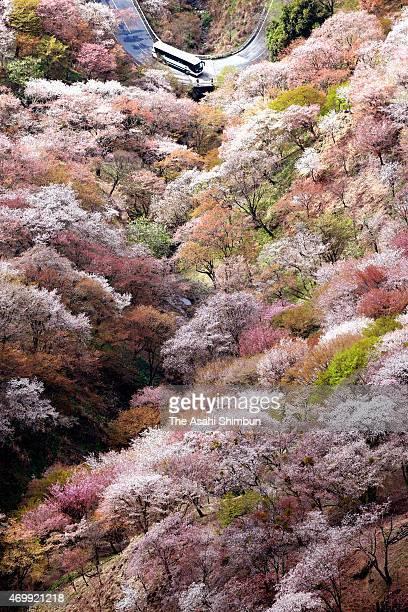 Visitors enjoy cherry blossoms in full bloom at Mount Yoshino on April 11 2015 in Yoshino Nara Japan