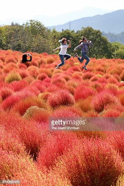 Visitors enjoy fully bloomed at Hirugano Highland Kochia Park on October 6 2016 in Gujo Gifu Japan