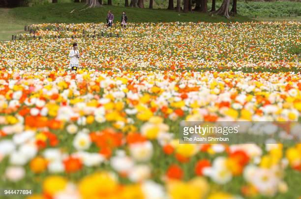 Visitors enjoy fully bloomed iceland poppy on April 7, 2018 in Namegawa, Saitama, Japan.