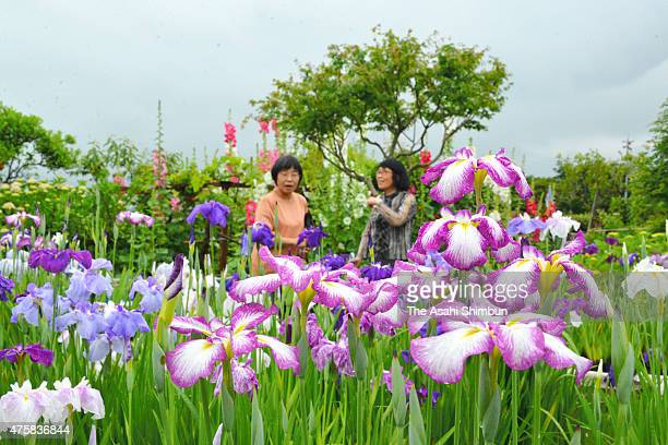 60 Top Japanese Iris Pictures, Photos and Images - Getty Images