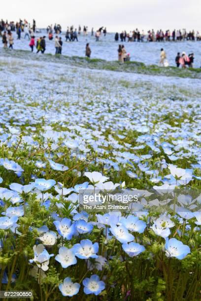 Visitors enjoy fully bloomed nemophila at Hitachi Seaside Park on April 22 2017 in Hitachinaka Ibaraki Japan