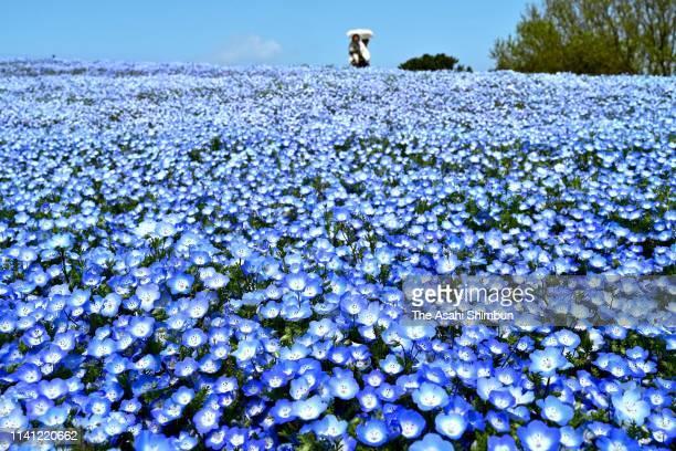 Visitors enjoy fully bloomed Nemophila at Uminonakamichi Seaside Park on April 8 2019 in Fukuoka Japan
