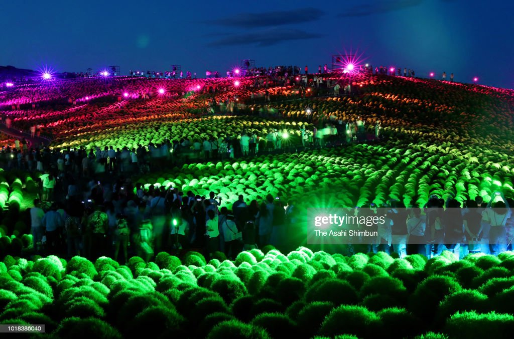 Kochia Field Illuminated At Hitachinaka