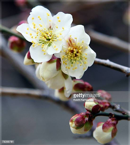 Visitors enjoy looking at plum blossoms in full bloom at plum blossoms at Kitano Tenmangu Shrine on February 8 2007 in Kyoto Japan Due to the warm...
