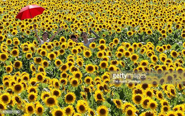 Visitors enjoy the fully bloomed sunflowers on July 15 2011 in Minamichita Aichi Japan