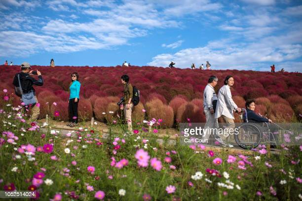 Visitors enjoy the red Kochias at Hitachi Seaside Park on October 19 2018 in Katsuta Japan For just a brief period between early to mid October each...