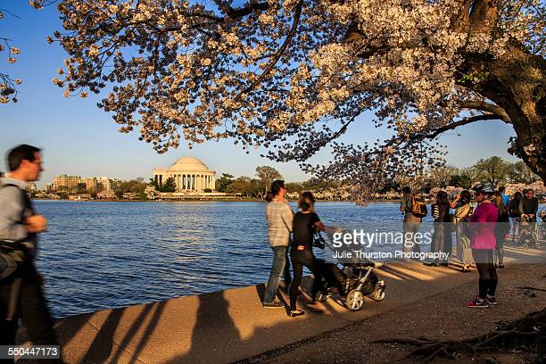Visitors enjoying pink flowering trees along the and water and near the Jefferson Memorial during the annual Cherry Blossom Festival at the United...