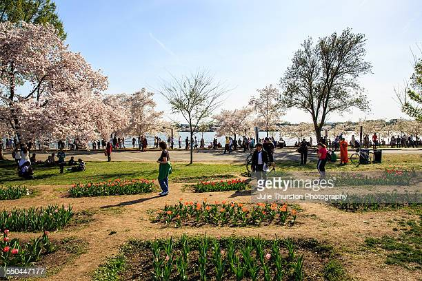 Visitors enjoying pink flowering trees and tulipsalong the and water and near the Jefferson Memorial during the annual Cherry Blossom Festival at the...