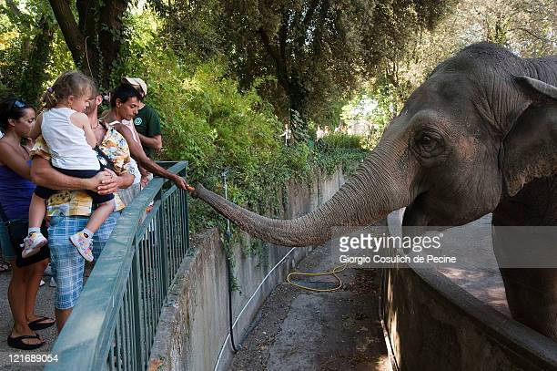 Visitors feed elephants at the Rome Bioparco during lunch time on August 21 2011 in Rome Italy Over the last few days due to very high temperatures...