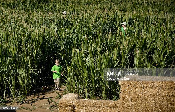 Visitors find their way in corn maze at Dave's Pumpkin Patch in West Sacramento, California, October 11, 2013.