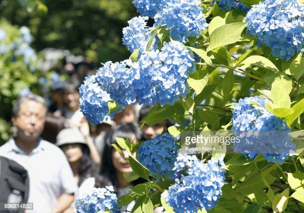 Visitors flock to see 2500 blue hydrangea plants in full bloom at Meigetsuin temple in Kamakura southwest of Tokyo on June 17 as the sun peeked out...