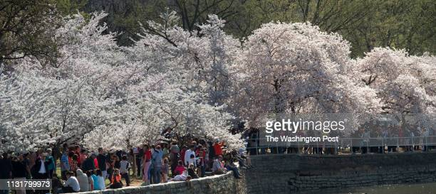 Visitors flock to the Tidal Basin to enjoy the blooming cherry trees in Washington DC on Sunday April 12 2015