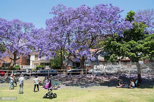 Visitors in the park next to McDougall Street in the north Sydney suburb of Kirribilli on November 10 2016 in Sydney Australia Jacaranda trees are...