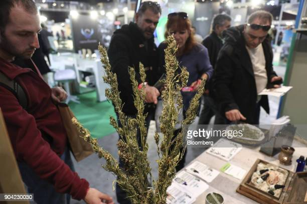 Visitors inspect dried marijuana plants at an exhibitor's stand at the 1st International Cannabis Expo at the Faliro Sports Pavilion in Athens Greece...