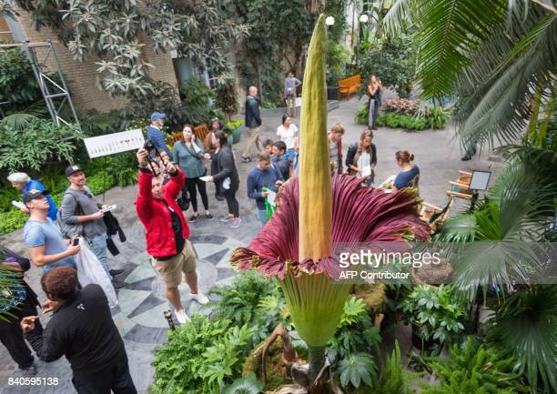 Visitors look at a blooming Corpse Flower that grew to 995 inches at the US Botanical Garden on August 29 in Washington DC The giant flower is known...