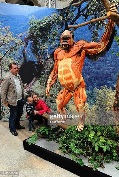 Visitors look at a plastinated gorilla on the opening day at the Body World Animals exhibition at the Cologne Zoo on April 15, 2011 in Cologne,...