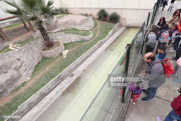 Visitors look at white lions at Huachipa Zoo in Lima province Peru on July 26 2018 Two white lions a four and a fivemonthold born at the Altiplano...