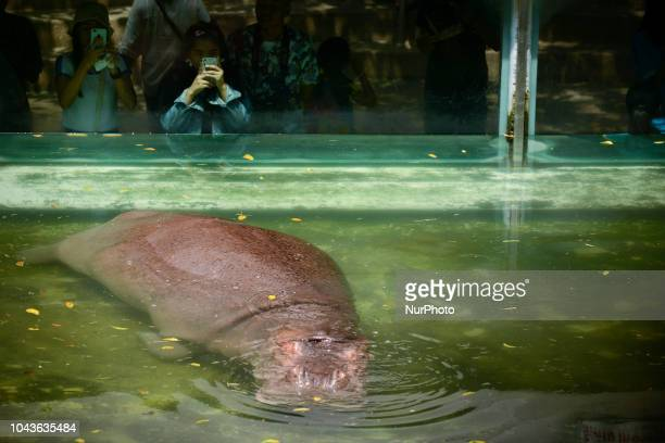 A Visitors looks at a female hippopotamus named ''Mali'' which means Jasmine at Dusit Zoo in Bangkok Thailand 30 September 2018 Dusit Zoo is...