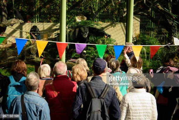 Visitors of the zoological city garden watch chimpanzee 'Benny' who celebrates his 50th birthday in Karlsruhe Germany 12 October 2017 'Benny' was...