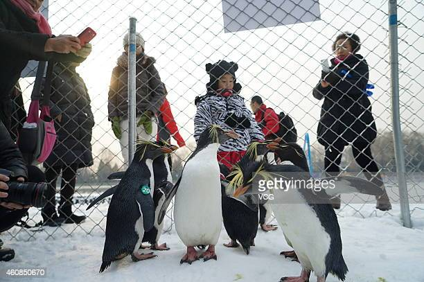 Visitors play with rockhopper penguins during the Fifth Taoranting Park Winter Carnival on December 26, 2014 in Beijing, China. The Fifth Taoranting...