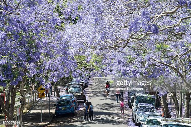Visitors pose for photographs on McDougall Street in the north Sydney suburb of Kirribilli on November 10 2016 in Sydney Australia Jacaranda trees...