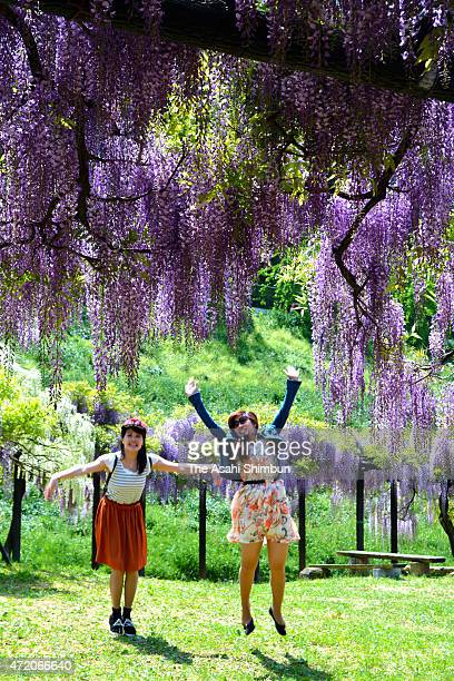 Visitors pose for photographs with fully bloomed Japanese Wisteria at Shirai Omachi Fuji Park on May 2 2015 in Asago Hyogo Japan