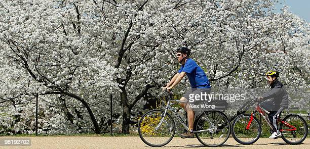 Visitors ride bicycles as they enjoy cherry trees in full bloom near the Washington Monument April 1 2010 in Washington DC The National Cherry...