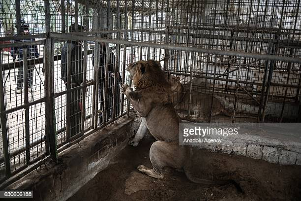Visitors stand behind a lion's cage at the Zoo in Rafah Gaza on December 26 2016 Gaza's the first and one zoo which was established 17 years ago...
