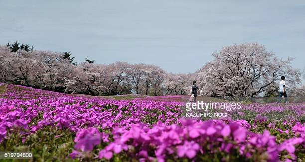 Visitors stroll in a garden of moss phlox and cherry blossoms in full bloom in Tatebayashi about 75 kilometers North of Tokyo April 8 2016 Viewing...