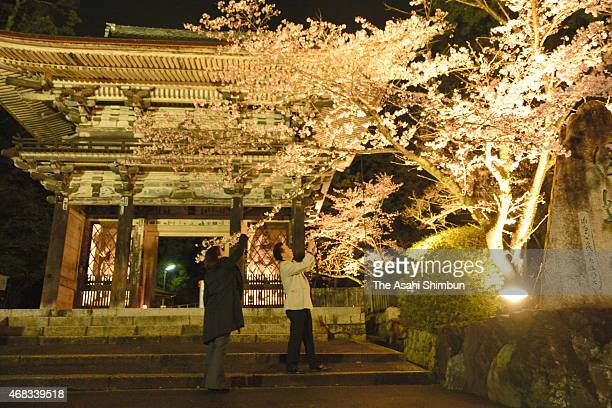 Visitors take photographs of cherry blossoms in full bloom as the night illumination begins at Miidera Temple on April 1 2015 in Otsu Shiga Japan