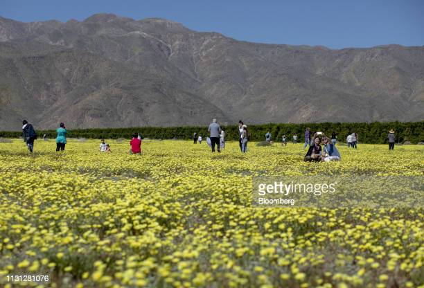 Visitors take photographs of wildflowers during a 'super bloom' in Borrego Springs California US on Sunday March 17 2019 California is free of...