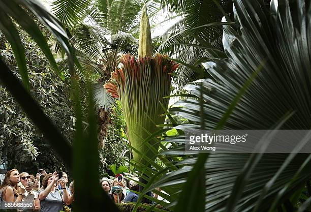 Visitors take pictures of the Titan Arum also known as the corpse flower in full bloom at the US Botanic Garden August 3 2016 in Washington DC The...
