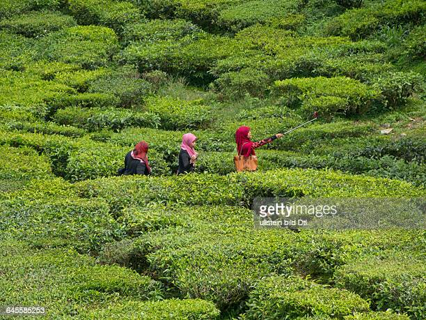 Visitors take 'selfie' photos at a tea plantation in the Cameron Highlands Malaysia